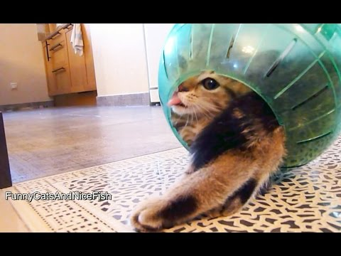 Thumbnail for Cat Video Funny Kitten Stuck in the Middle of Hamster Ball
