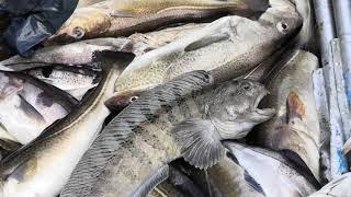 Морская рыбалка Баренцево море Зубатка