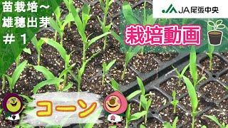 コーン(トウモロコシ)の栽培 ~コーン(トウモロコシ)ができあがるま...