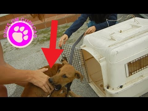 Dog Survives Car Accident - Animal Rescue on Curacao # 25