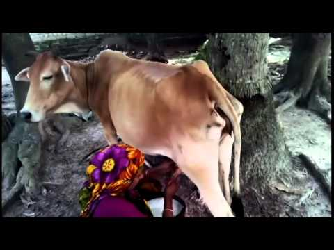 How to get milk of cow naturally - YouTube