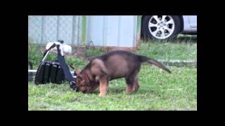 German Shepherd Malaysia- Wolfverin Atom (9 Weeks)