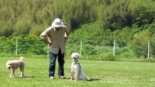 英セッターの保護犬 ソフィアちゃんの「マテ!」の練習です。 あえて、...