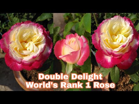 Rose varieties, Double Delight, Imperatrice Farah & many more, by Garden Gyan