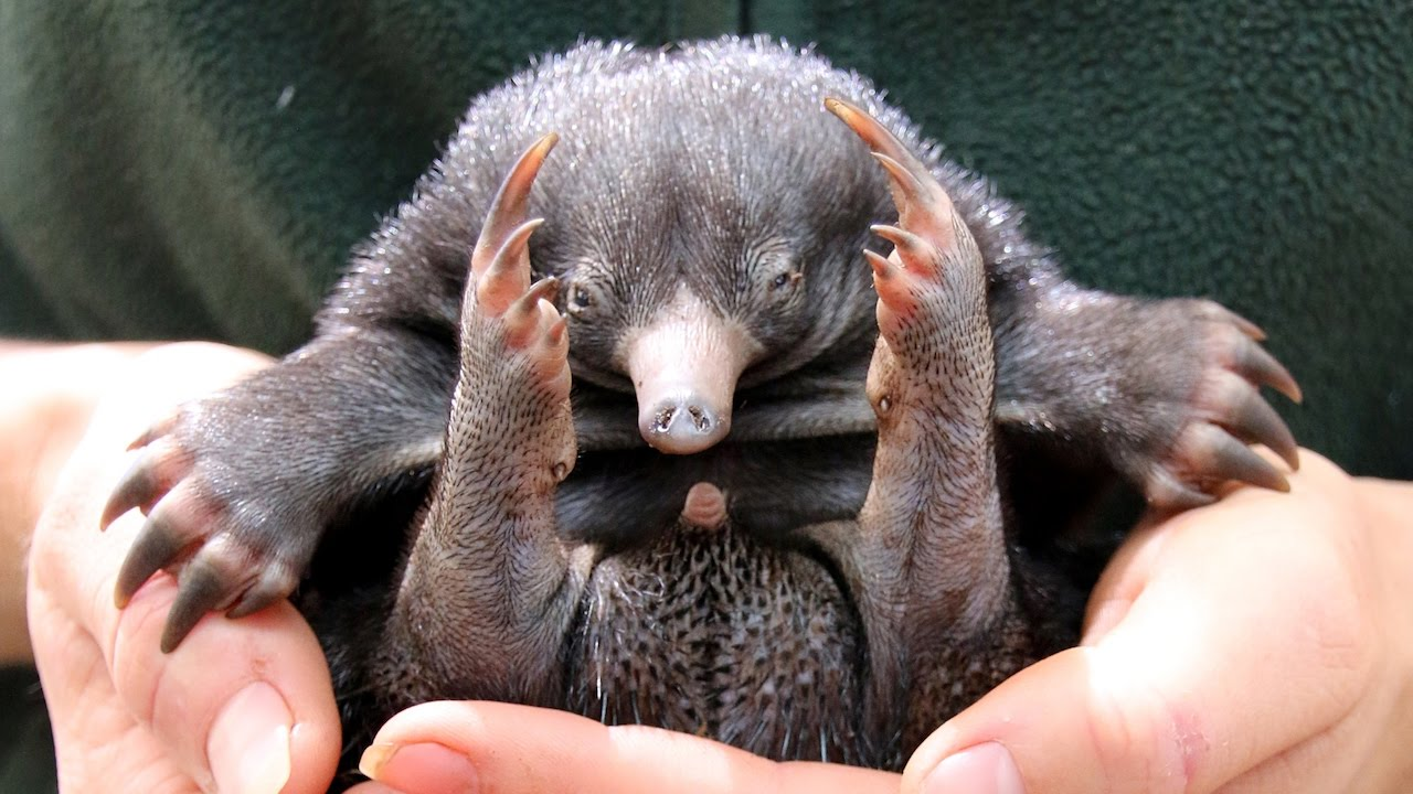 Tiny Echidna Babies Open Their Eyes: ZooBorns