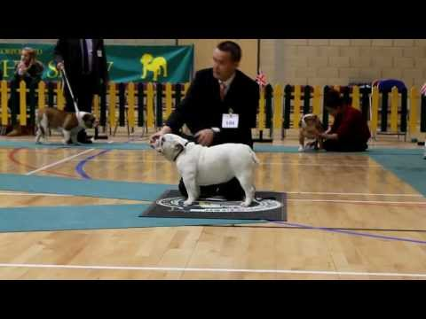 Marble Arch F Gilada  at the Incorporated Bulldog Club Championship show. 11 months old female