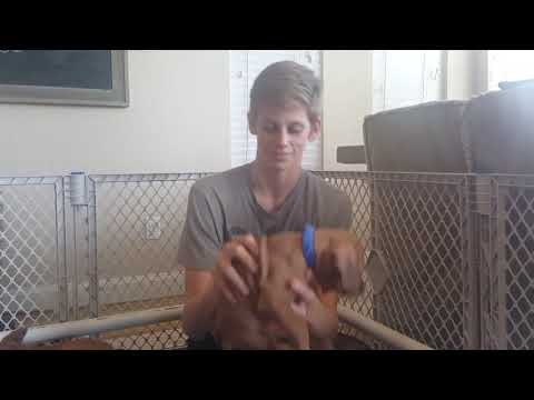 PuppyFinder.com : RHODESIAN RIDGEBACK PUPPIES FOR SALE AUSTIN TEXAS
