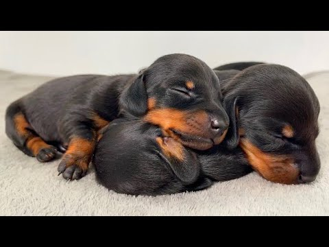 Dachshund puppies from 0 to 4 weeks old.