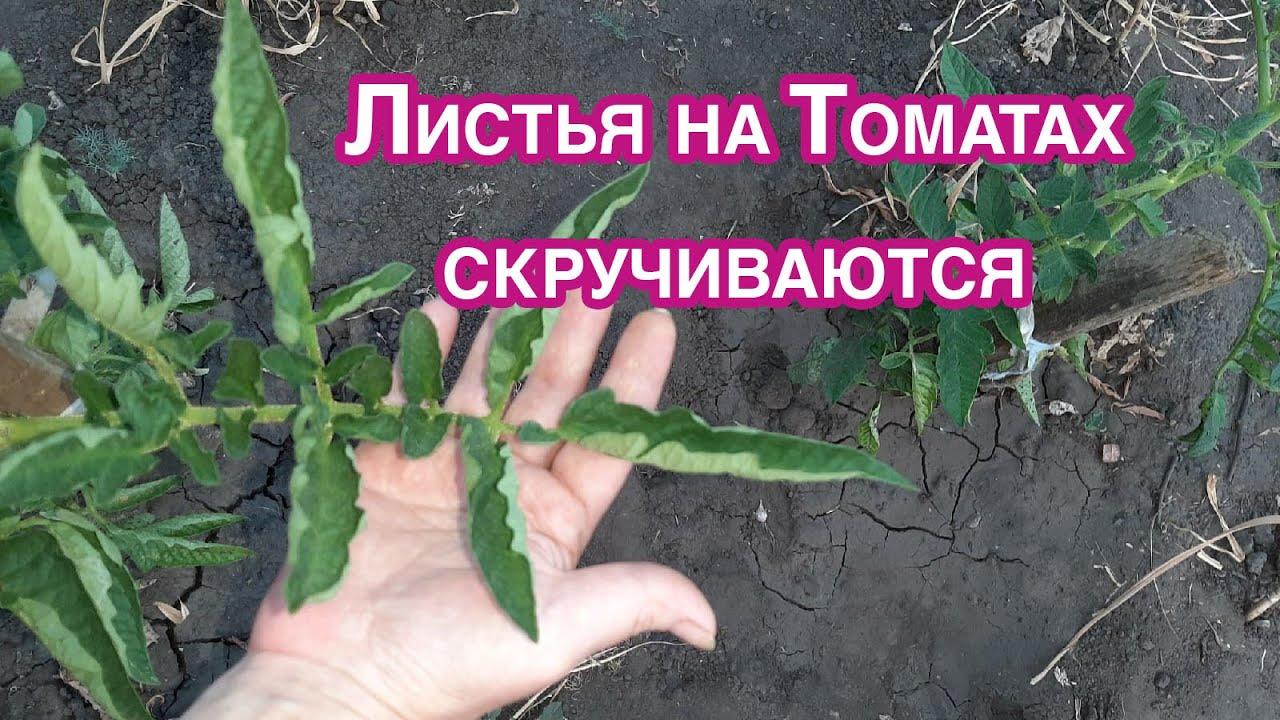 Срочно Листья на томатах Свернулись Избавляемся от проблемы и причины появления.