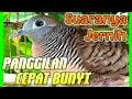 Perkutut Lokal Gacoran Suara Jernih Dan Keras  Mp3 - Mp4 Download