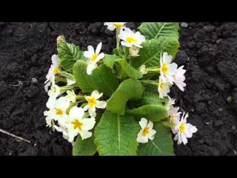 Самые очаровательные весенние цветы -  это примула садовая