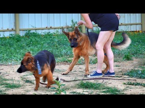Щенки Немецкой овчарки Ребека и Рикарда. German Shepherd Puppies.