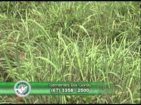 Fazenda Canada(Figueirópolis - TO) 02 Consorciação de Estilosantes com o Andropogon