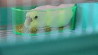 雛の頃はよく餌箱の中で眠っていました。 現在はワンパクに育っています。