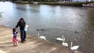 Disha Daddy feeding swans in Thames river Thumbnail