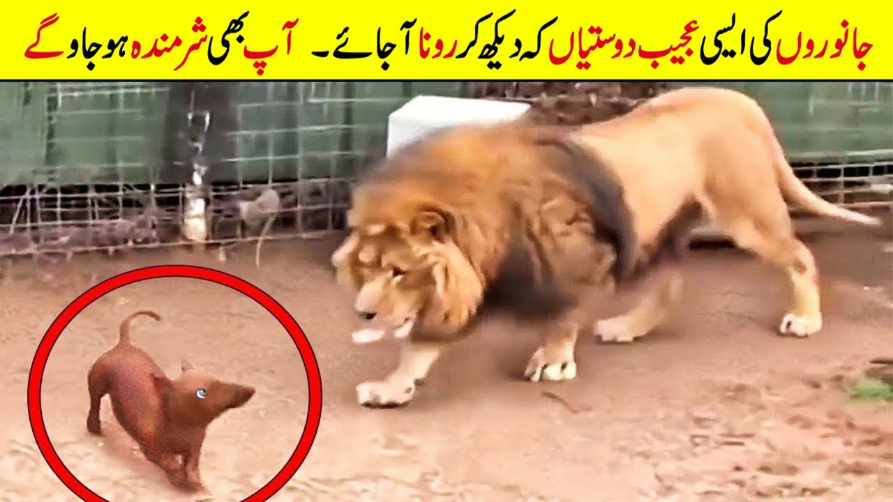 AMAZING AND UNUSUAL ANIMALS FRIENDSHIPS THAT WILL MELT YOUR HEART | HINDI/URDU