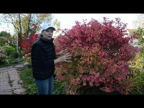 Бересклет крылатый: король осеннего сада