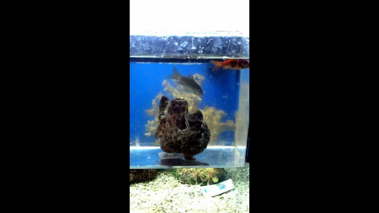 angler fish having dinner at a local pet store youtube
