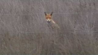 fox hunting double almost