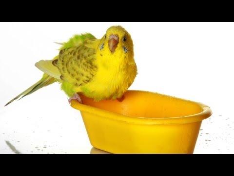 How to Bathe a Bird | Pet Bird