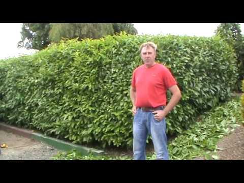 Hyland S Nursery Laurel Hedge Pruning