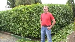 Hyland's Nursery - Laurel Hedge Pruning