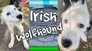 Irish wolfhound mixed breed