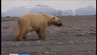 Белый медведь пришел в Анадырь