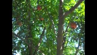 Южные фрукты (Как растет:гранат,фейхуа,банан итд)
