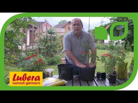 Guatila und Tomatenbaum zum Abnehmen