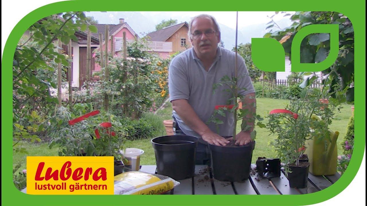 Tomaten Im Topf Pflanzen