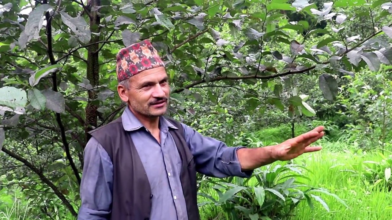 Download Alichi kheti in nepal  (cardamom)