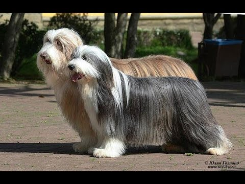 Собаки породы Бородатая колли! Bearded Collie dog breed!