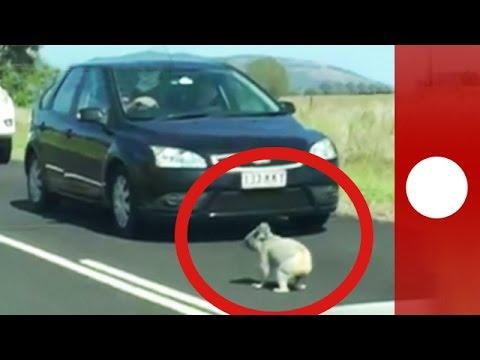 Cheeky koala holds up traffic on Australia highway