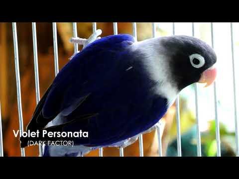 Violet Personata Eyering Lovebirds