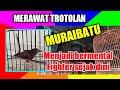 Cara Merawat Trotolan Muraibatu Yang Benar Dan Bermental Fighter  Mp3 - Mp4 Download