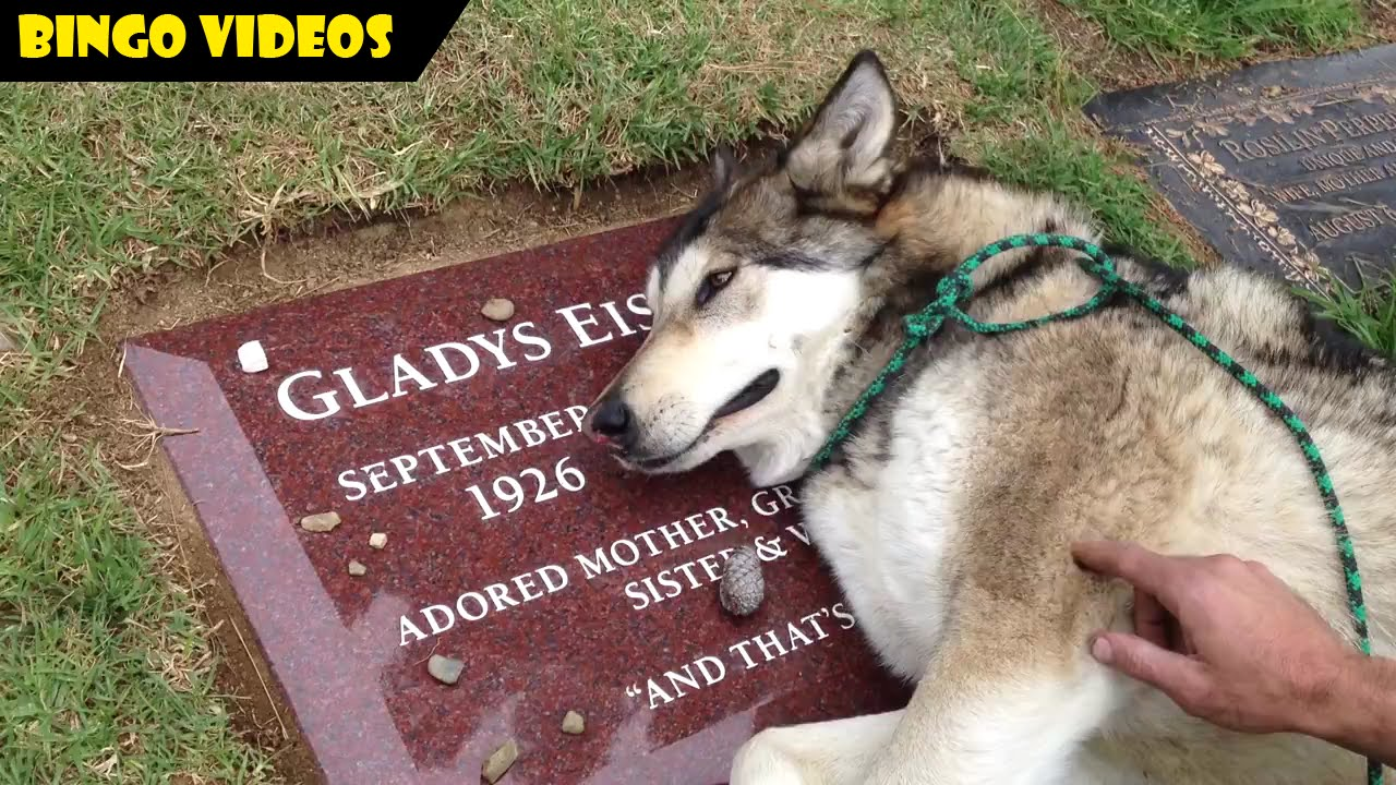 DIJAMIN NANGIS Anjing Huskey Menangis Karena Ditinggal Mati