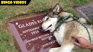 DIJAMIN NANGIS!!! Anjing Huskey Menangis Karena Ditinggal Mati Majikannya