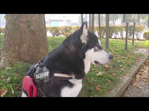 Alaskan Malamute waits at the bus stop for her hu-mum