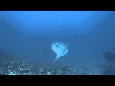 6 Mola Mola cleaning all together