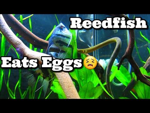 Ropefish Eats Angelfish Eggs Being Layed - Reedfish