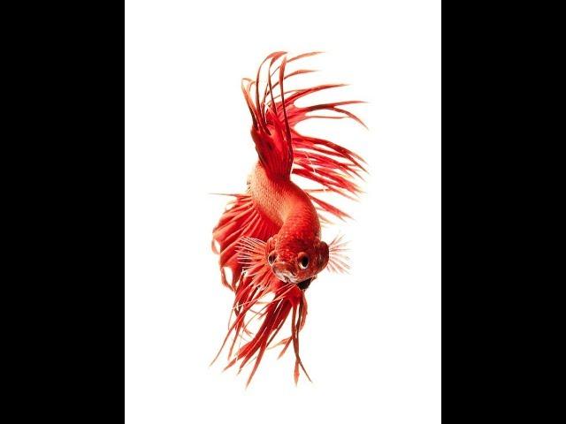 ikan cupang plakat marble - betta fish plakat marble