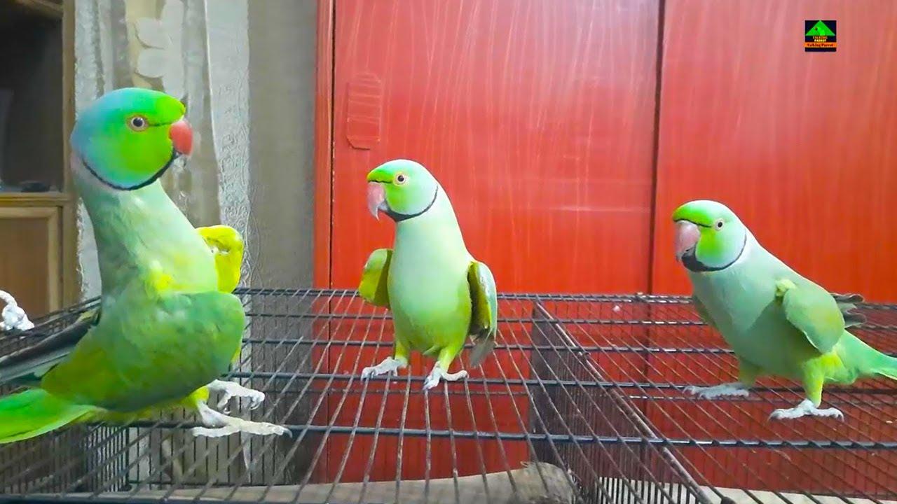 Mithhu Rainbow And Tiger My Three Cute Urdu Hindi Speaking Ringneck Talking Parrots