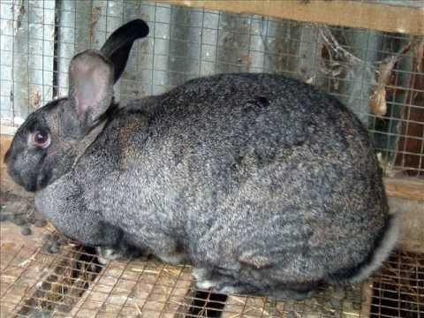 Giant Chinchilla Rabbit Giant Chinchilla Rabbi...
