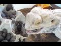 フトアゴヒゲトカゲの捕食(ゴキブリは美味しいぞ!!)笑