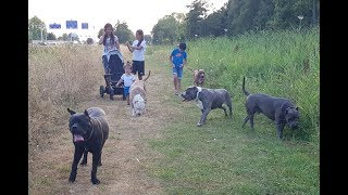 A day in my life. Walking the Giant pitbulls with my family