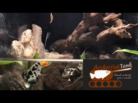 Archerfish Spitting And Hitting Shrimp