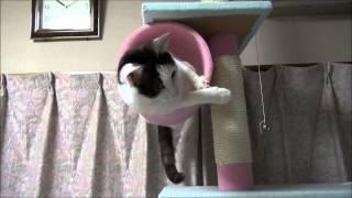 キャットタワーの筒にハマった白黒猫、バックもできず前へも出られず