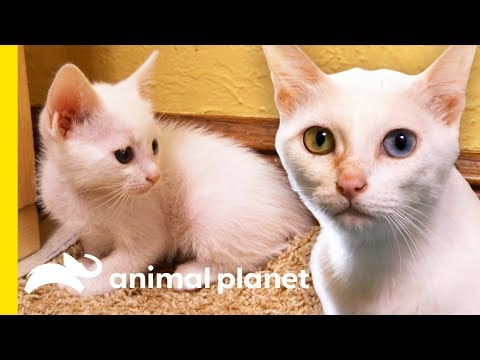 Rare 'Khao Manee' Cats Have Strikingly Beautiful Odd-Colored Eyes | Cats 101