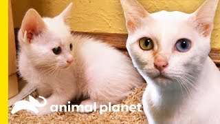 Rare 'Khao Manee' Cats Have Strikingly Beautiful OddColored Eyes | Cats 101
